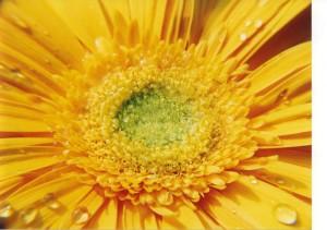 Burvigs-lotosa-zieds